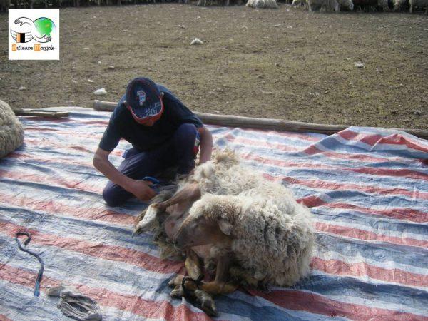 Le mouton a les pattes attachées lors de la tonte