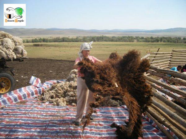 La laine du mouton après avoir été tondue aux ciseaux