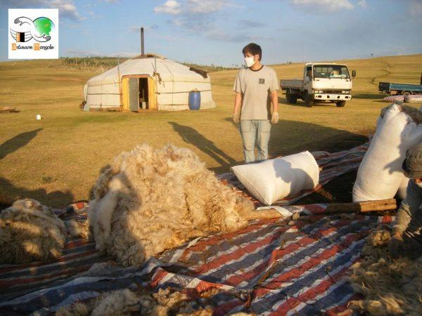 Le triage de la laine devant la Yourte