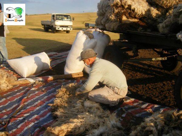 Triage de la laine après la tonte