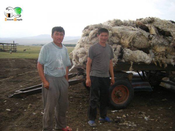 La laine de mouton sur la remorque avant le départ