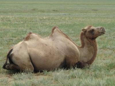 Laine de chameau