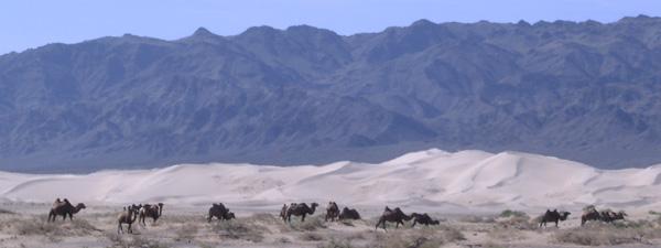 chameaux de Bactriane dans le désert de Gobi