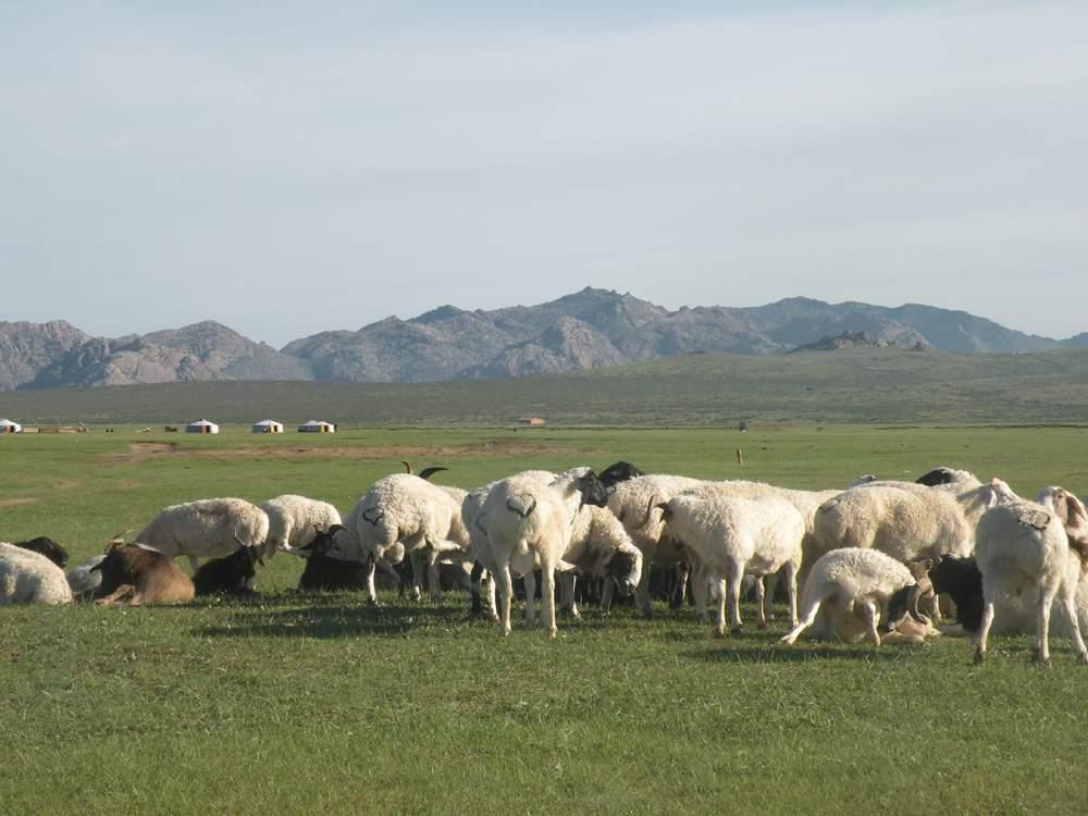 laine de mongolie