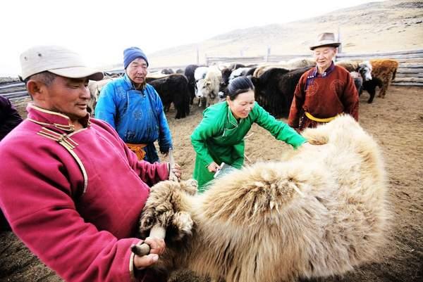 laine de Mongolie Yack Mouton Chameau chèvre