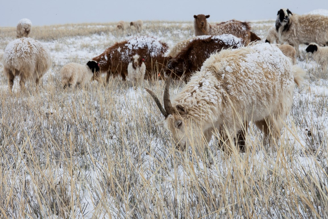 Chèvres en cachemire dans les steppes froides