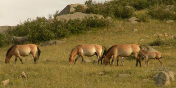 cheval Przewalski de Mongolie