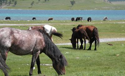 des chevaux mongols
