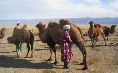 traite des chameaux
